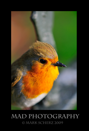 Ruffled Redbreast
