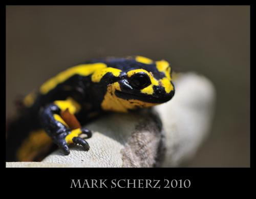 Fire Salamander (Salamandra salamandra) portrait in hand 1
