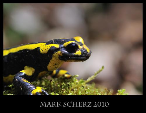 Fire Salamander (Salamandra salamandra) portrait on moss 1