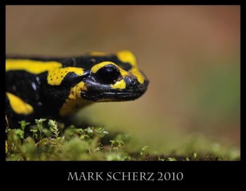 Fire Salamander (Salamandra salamandra) portrait on moss 3