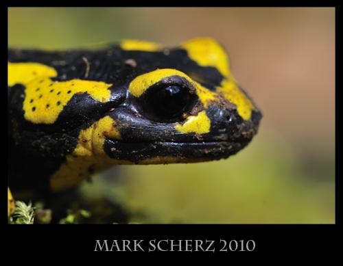 Fire Salamander (Salamandra salamandra) portrait on moss 4