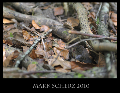 Forest dwelling mouse 2