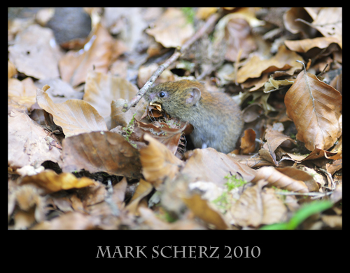 Forest dwelling mouse 4