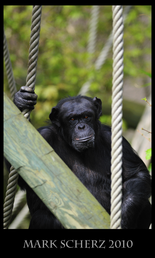 Baleful eyes of the Chimpanzee