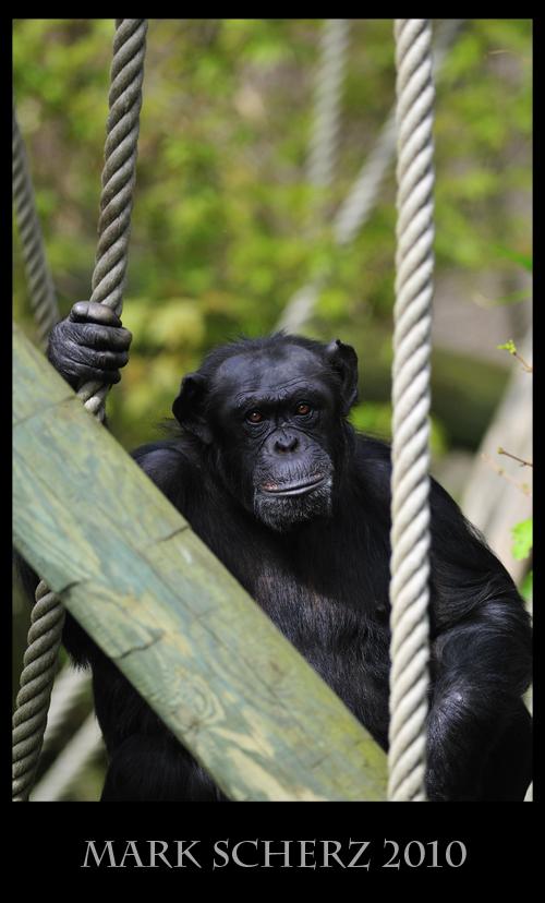 Baleful eyes of the Chimpanzee