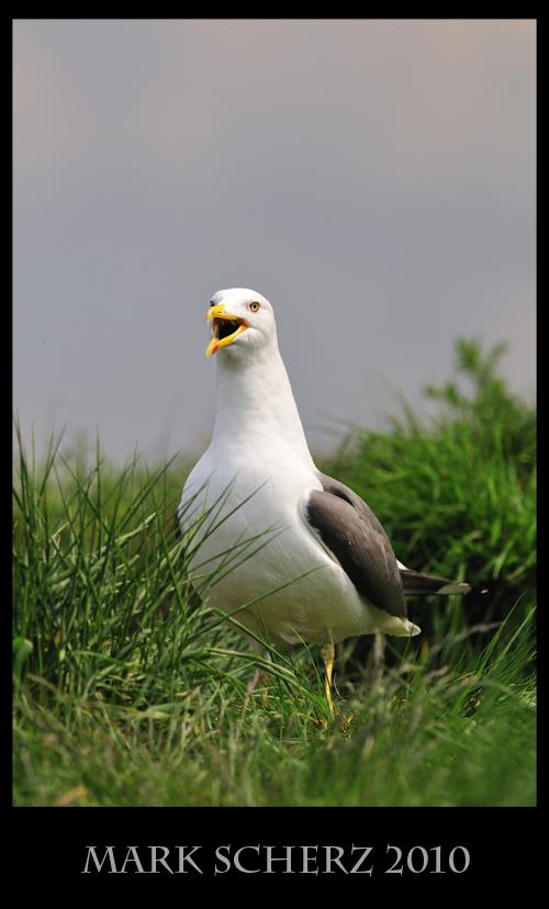 Calling Gull on Inchcolm Island