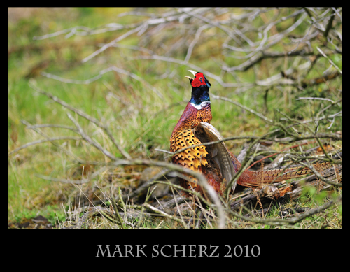 Calling Male Pheasant in Holyrood Park