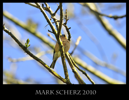 Central framed Chaffinch in Holyrood Park