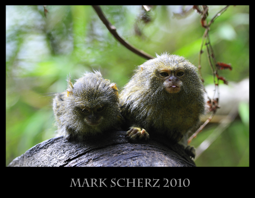 Cheeky Monkies - Pygmy Marmosets