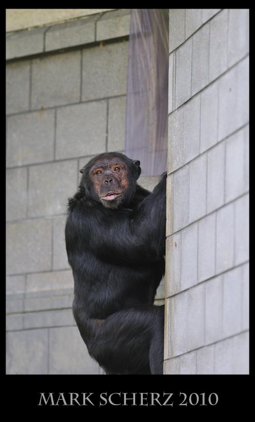 Chimp making kissy faces