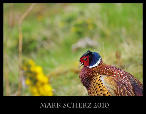Cowering Pheasant in Holyrood Park
