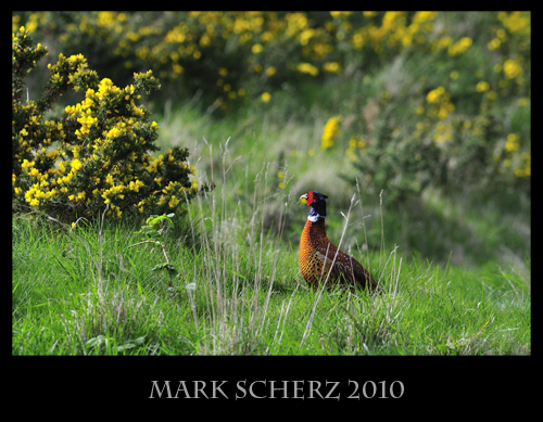 Crouched Pheasant in Holyrood Park 2