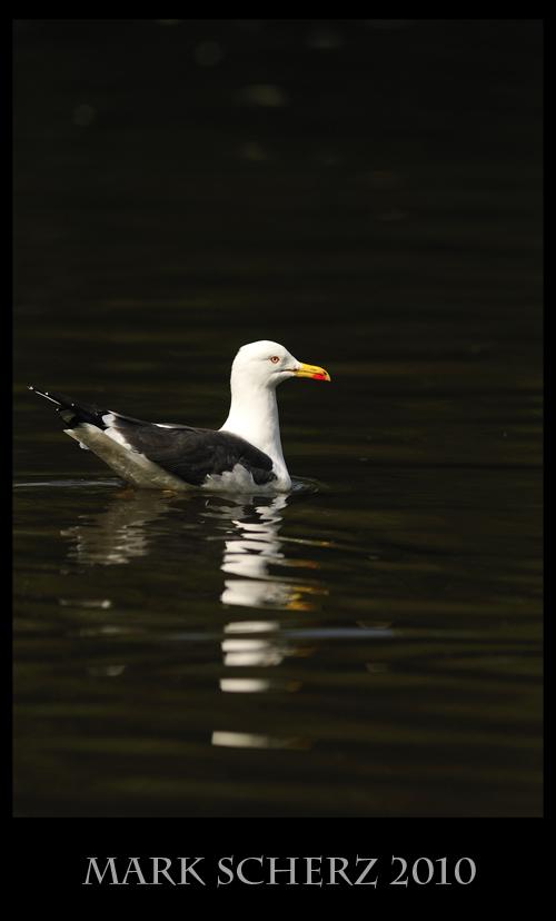 Dynamic range fail on a Lesser Black Backed Gull in Holyrood Park