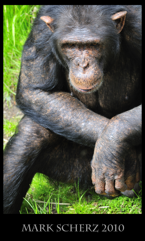 Emotional expression of Chimps