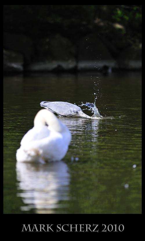 Faceplanting Heron in Holyrood Park