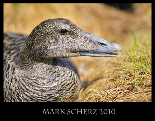 Female Common Eider Incubating
