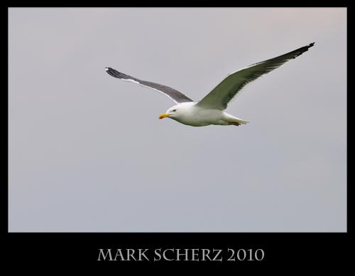 Flying Lesser Black Backed gull