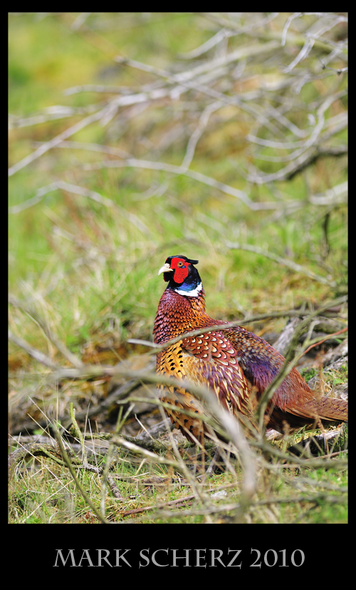Gorgeous Male Pheasant in Holyrood Park