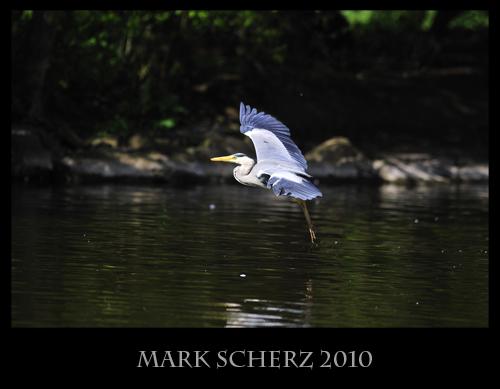 Landing Grey Heron in Holyrood Park