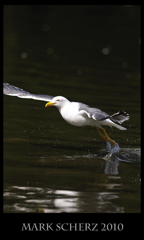 Lesser Black Backed Gull at Takeoff