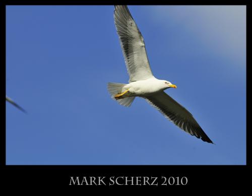 Lesser Black Backed Gull in Flight