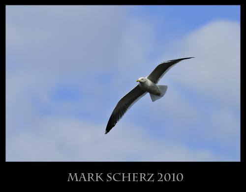 Lesser Black Backed Gull in Holyrood Park