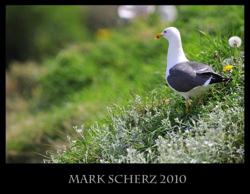 Lesser Black Backed gull on Inchcolm Island 1