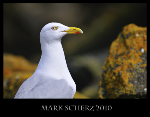 Lesser Black Backed gull on Inchcolm Island 2