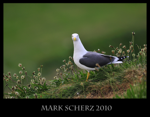 Lesser Black Backed gull on Inchcolm Island 3