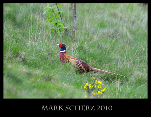 Male Pheasant in Holyrood Park