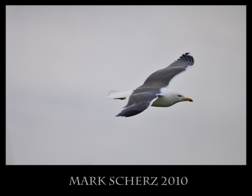 Manual Override on a flying Gull