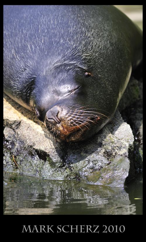 Patagonian Sea Lion taking a nap