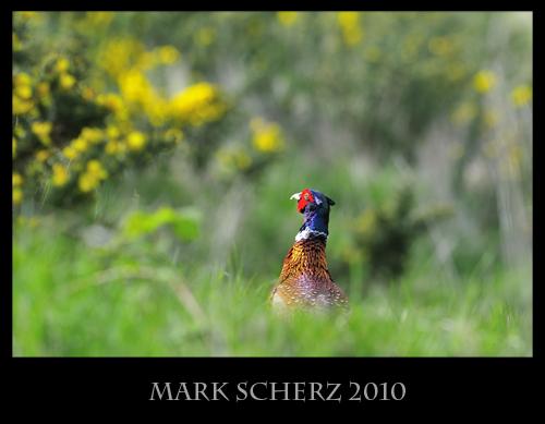 Peeking Pheasant in Holyrood Park