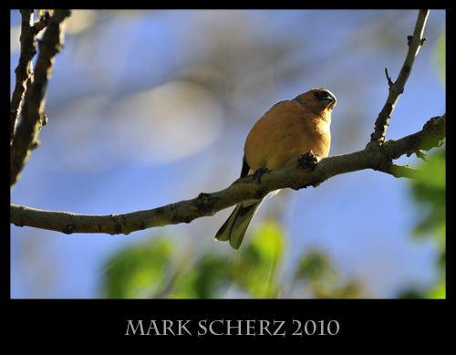Perched Chaffinch 1