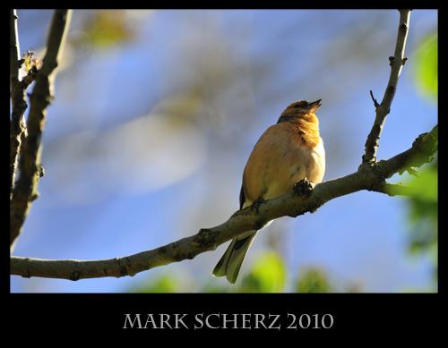 Singing Chaffinch