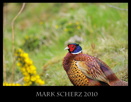 Pheasant all puffed up