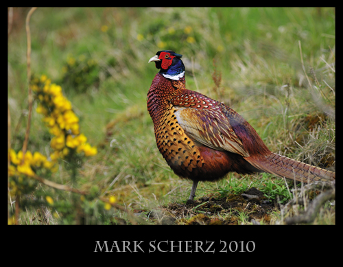 Pheasant on one leg in Holyrood Park