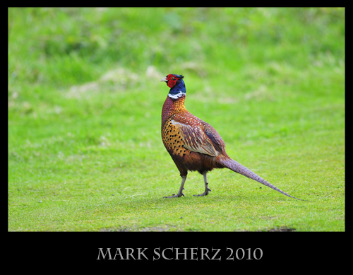 Pheasant on the Lawn, Holyrood Park