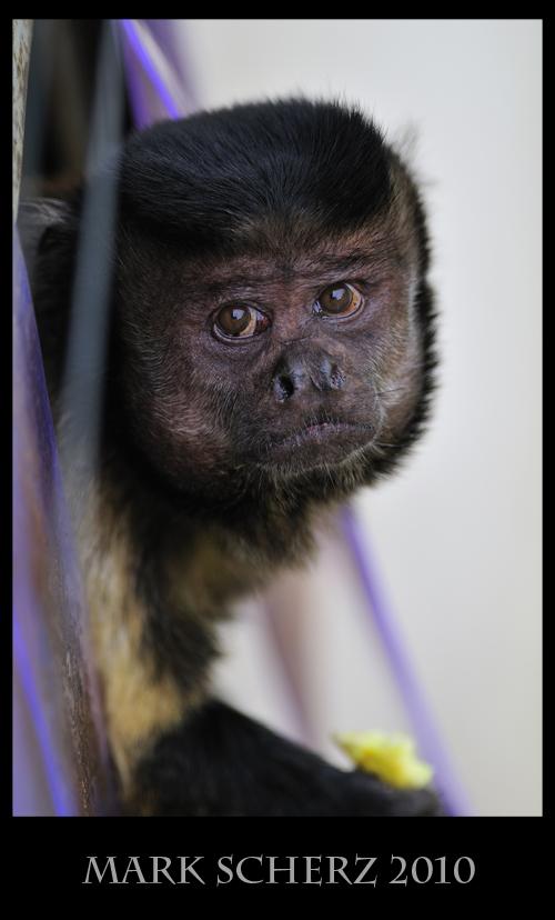 Pleading Capuchin Monkey