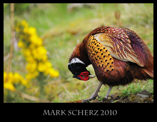 Preening Pheasant in Holyrood Park