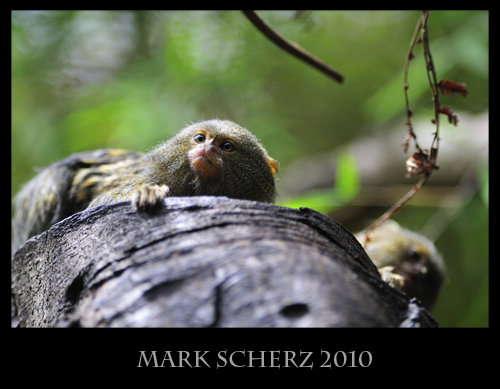 Pygmy Marmosets through Glass