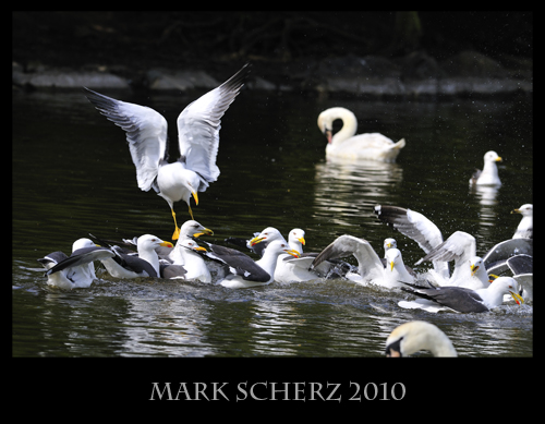 Squabbling Gulls in Holyrood Park