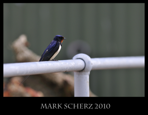Swallow on Railing