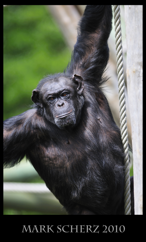 Swinging Male Chimp