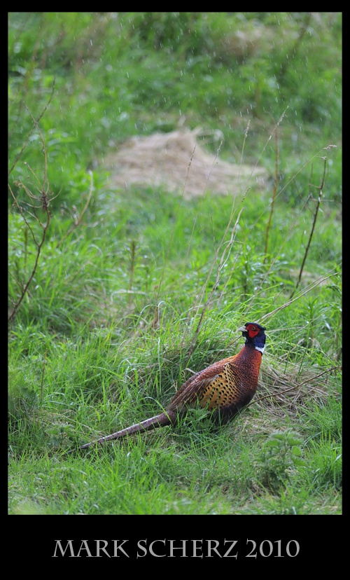 The rule of thirds with a Pheasant in Holyrood Park
