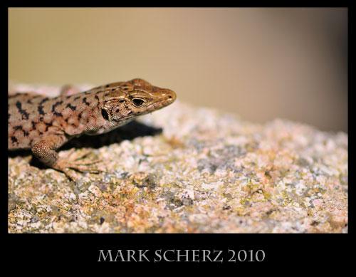 Bedriaga's Rock Lizard, Archaeolacerta bedriagae, Corsica 1