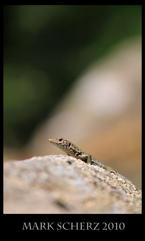 Bedriaga's Rock Lizard, Archaeolacerta bedriagae, Corsica 3