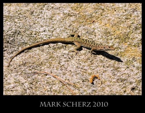 Bedriaga's Rock Lizard, Archaeolacerta bedriagae, Corsica 5