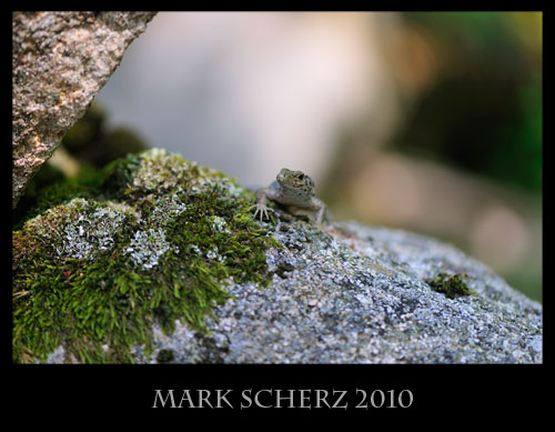 Bedriaga's Rock Lizard, Archaeolacerta bedriagae, Corsica 6
