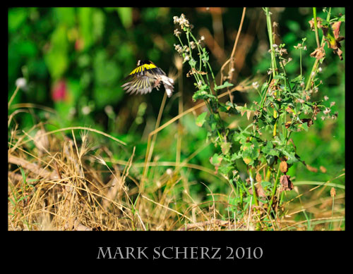 Gold Finch in Flight, Porto, Corsica